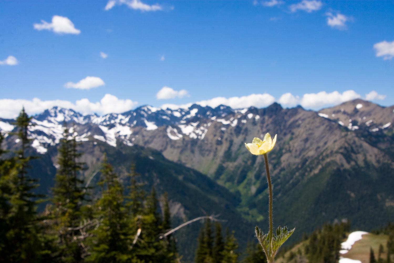 marmot-pass-flower-1